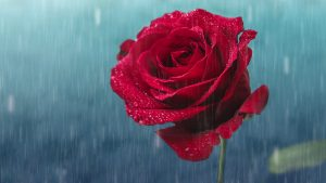 Top 25 Pictures Of Red Roses - #15 - with Rain