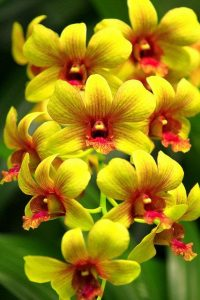 Close Up Orchid Flower Photo for Mobile Phone Background