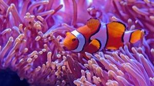 Beautiful Nature Wallpaper Big Size #22 - Clown Anemone Fish Picture in 4K