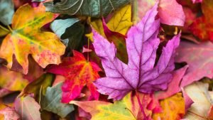 4K Autumn Image with Maple Leaves Picture