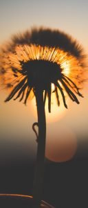Cool Wallpaper for Sony Xperia 1 II with Dandelion Sunset Macro Photo