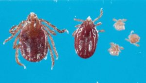 Longhorned Asian Tick aka Bush Tick Winter 2018 News with All Points Equine