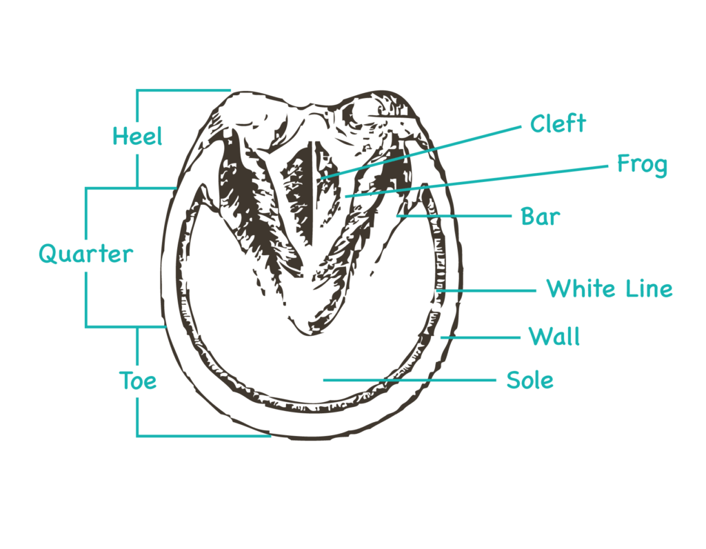 Parts of the hoof