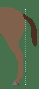 Horse Hind Leg Conformation Skeleton Post Legged