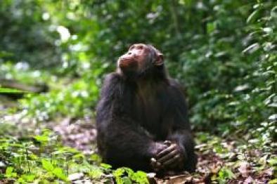 rwanda-chimpanzee-volcanoes