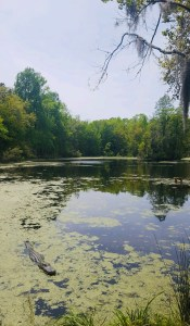 large lake with alligators and trees in the middle of the plantation