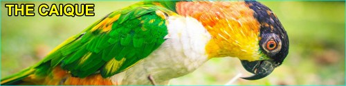 Caique parrot species