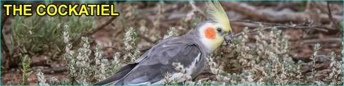 Cockatiel Species