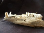 Unsere härtesten Knochen sind die Zähne