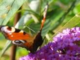 Zwillingssymbol Schmetterling - luftig, leicht, symmetrisch
