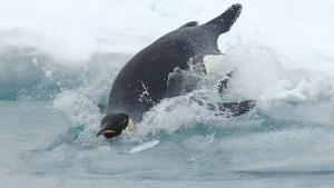 Emperor penguin in the ice