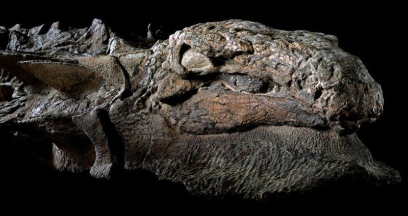 Nodosaur Head