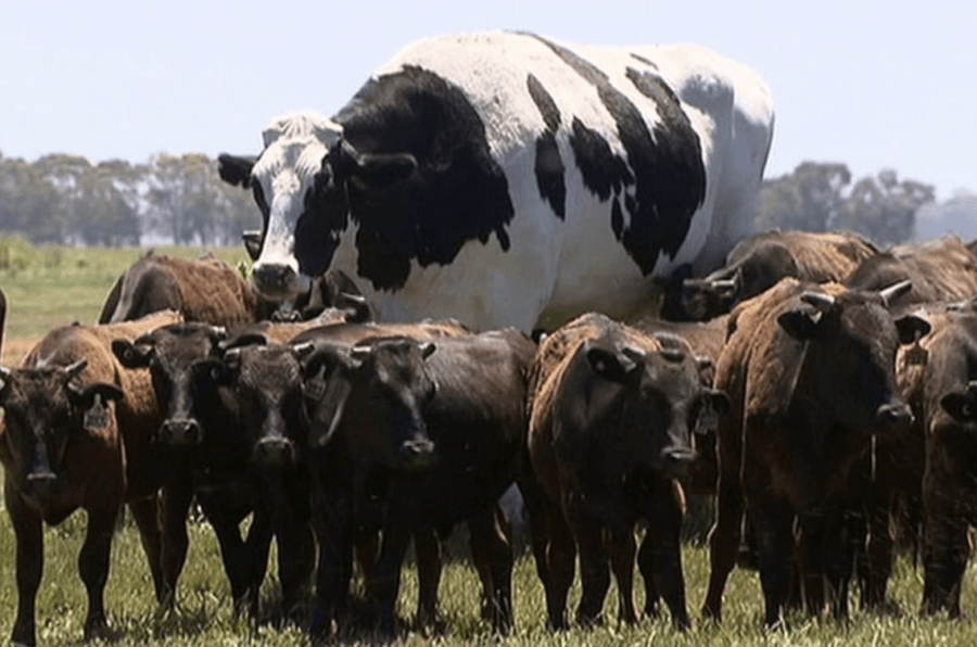 a giant cow named