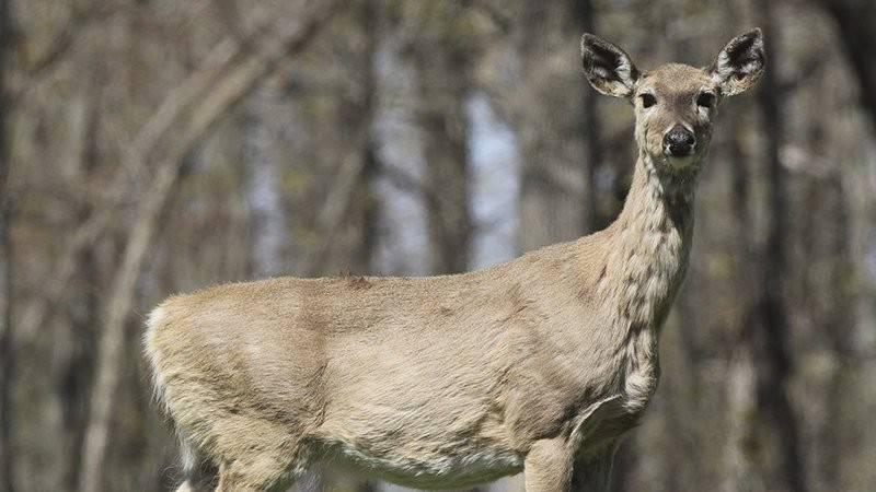 Arkansas Sick Deer