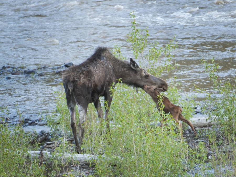 Emaciated Moose