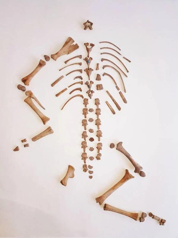 Goat Skeleton From Cueva De La Dehesilla