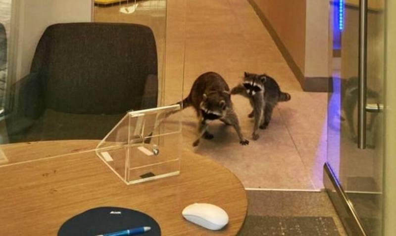 Raccoon Bank Intruders