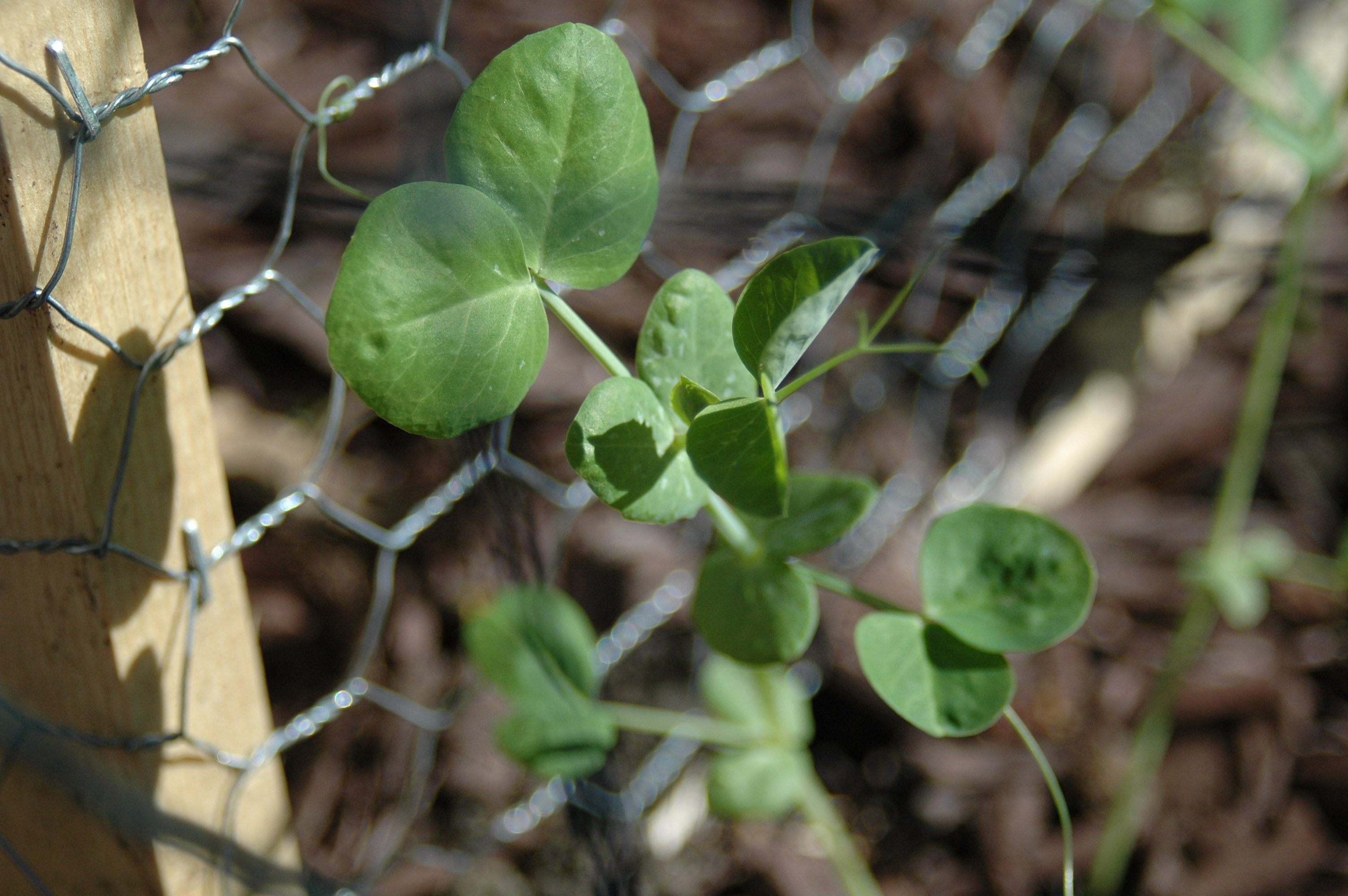 My peas are starting to creep up the lattice that I made for them.