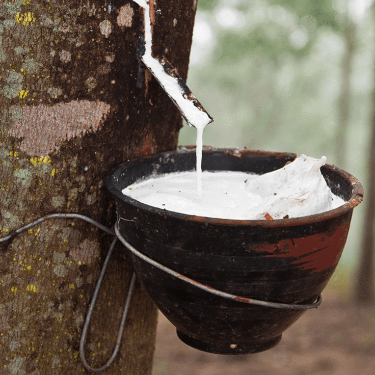 hevea milk running out of a rubber tree