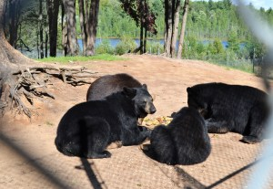 Four black bears lying down circle a pile of food