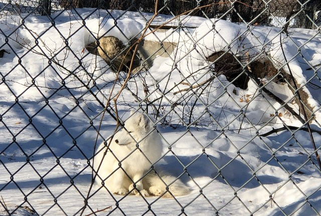 Behind a chain link fence is a white arctic fox sitting in snow.