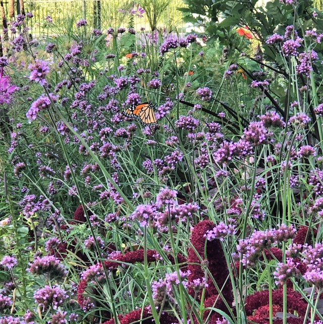 A field of purple flowers with a monarch butterfly sitting on one