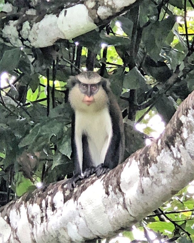 A black and white mona monkey peering our from a tree branch, thick with foliage