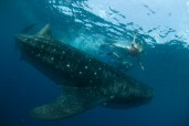Swimming with whale sharks, Cancun