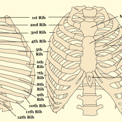 Diagram Of Skeletal Ribs Echo Power Pruner Parts Quick Tips How To Estimate The Chronological Age A Human All Things Aafs