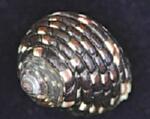 Monodonta Labioscnfusa