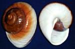 Muffin Snail
