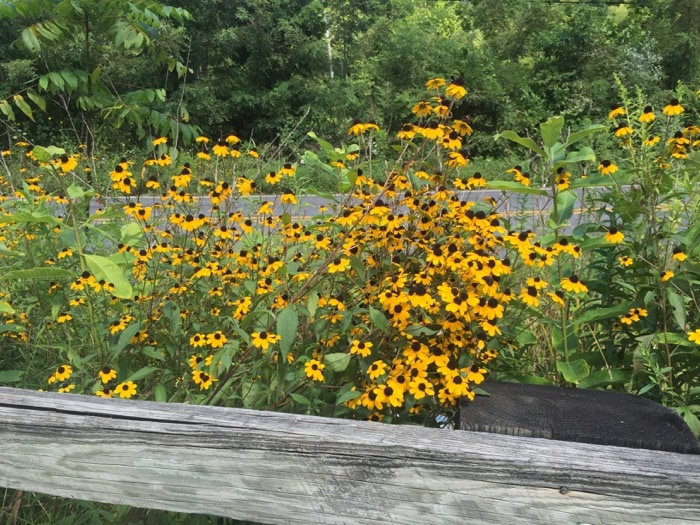Black-eyed susans at the trailhead