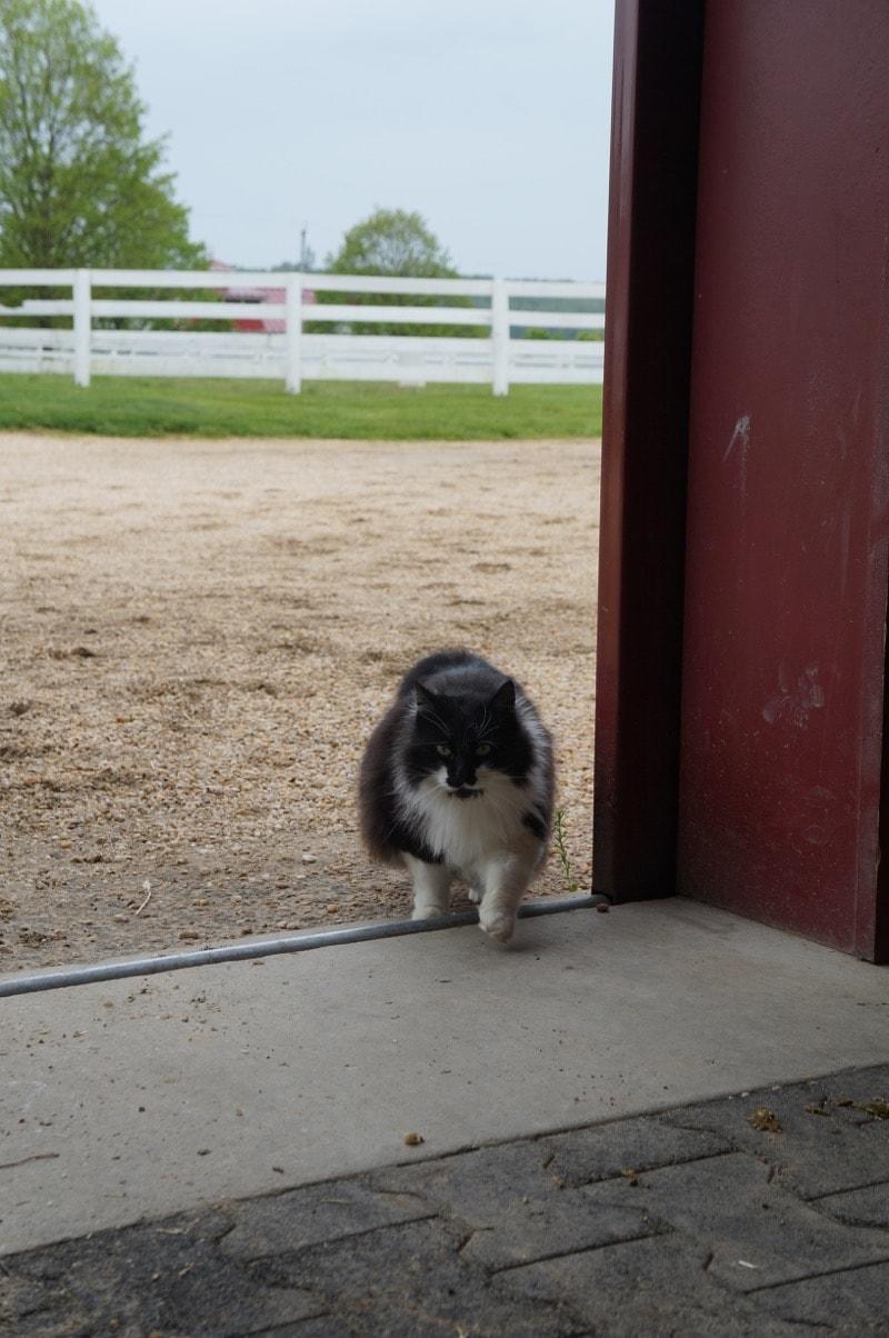 Black cat at Sagamore Farm