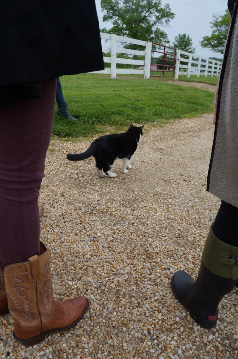 Black cat at Sagamore Farm