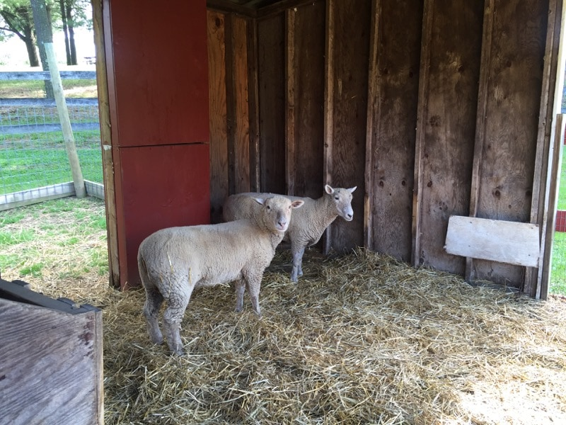 These adorable sheep were on loan to the museum but tried very hard to escape my gaze. I wouldn't let them.