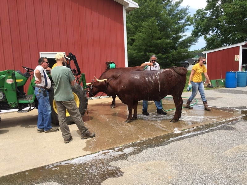 Washing the oxen