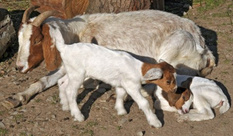 Goat with two kids b