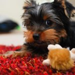 Yorkie Puppy Care All Things Yorkies