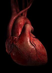 The tough reduction of heart makes adequate force to shoot blood for 30 Feet