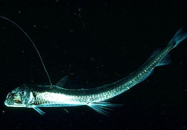 The Viperfish