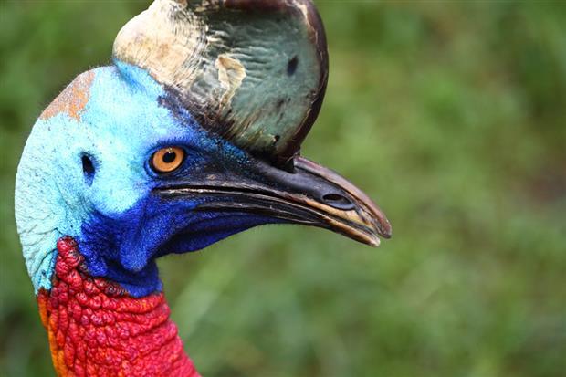 Northern cassowary