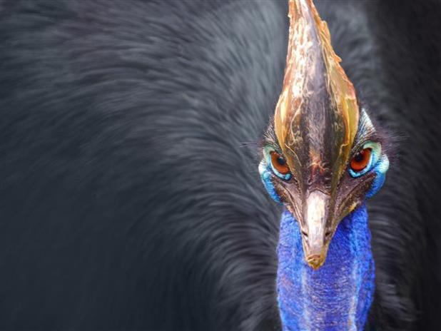 Southern cassowary - 2nd among largest birds in the world