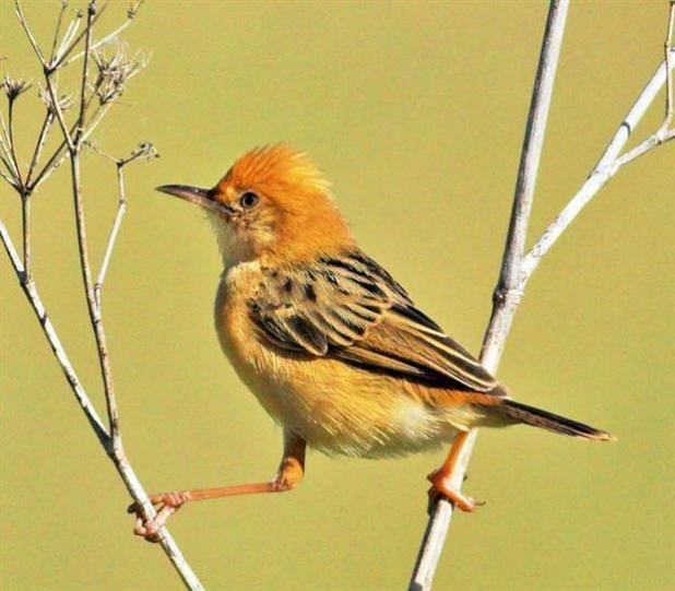 The Golden Headed cisticola