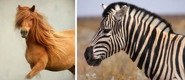 Horse and Zebra manes compared