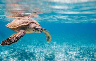 Turtle Swimming, North Island, Seychelles