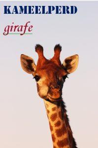 Kameelperd - Camel horse - Giraffe