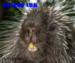 Ystervark  - iron pig – porcupine -Afrikaans English literal translations