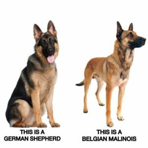 If you wonder, this is the difference between a German Shepherd and a Belgian Malinois dog.