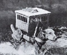 Carrier pigeons in cages on back Airedales terrier WW1