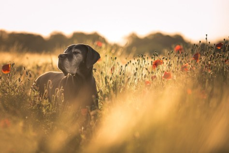 An old, happy short-haired pointer dog in a poppy field at sunset